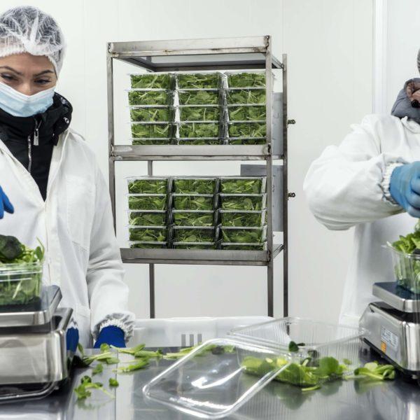 Melzo, Milan.Team members package lettuces at Agricola Moderna.